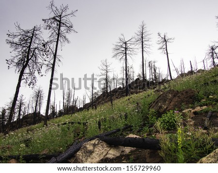 Regrowth in a Wildfire Burn Scar - stock photo