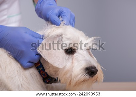 Regular check-ups are essential to canine health. Closeup shot of an young vet with her patient little terrier dog against grey background
