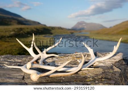 Reindeer antlers - stock photo