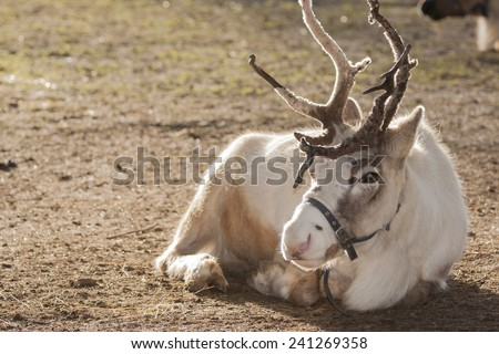 Reindeer are known as caribou in North America - and are famous for pulling Santa's slay!