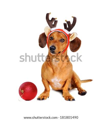 reindeer christmas dog with a christmas ball