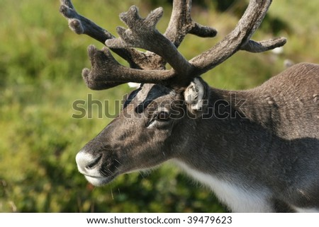 reindeer close up, norway - stock photo
