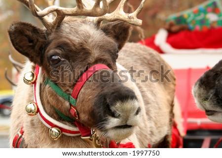 Reindeer, Deer - stock photo