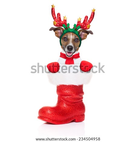 reindeer dog inside a Santa Claus Boot as a christmas surprise or present, isolated on white background - stock photo