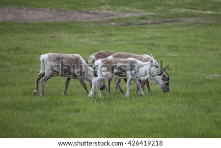 Reindeer eating grass in the meadow. Northern Norway.Tromso. - stock photo