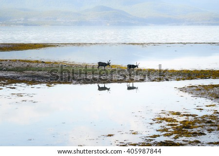 Reindeer eating grass infront of the sea - stock photo