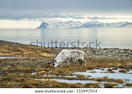 Reindeer eating grass infront of the sea and mountains in slow in Svalbard, Arctic - stock photo