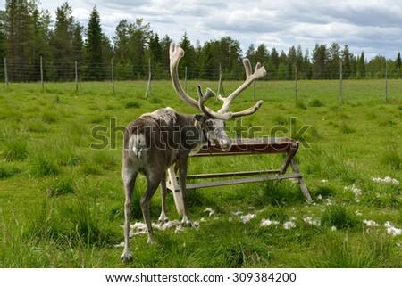 Reindeer Farm in northern Finland, Lapland - stock photo