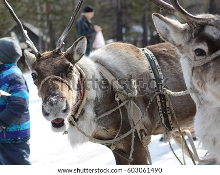 Reindeer in harness.