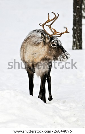 Reindeer in its natural habitat in the north of Sweden - stock photo
