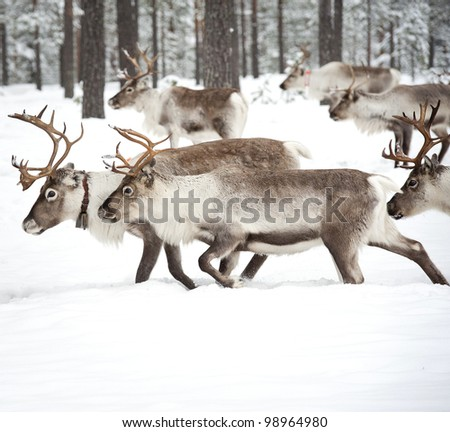 reindeer in its natural winter habitat in the north of Sweden - stock photo