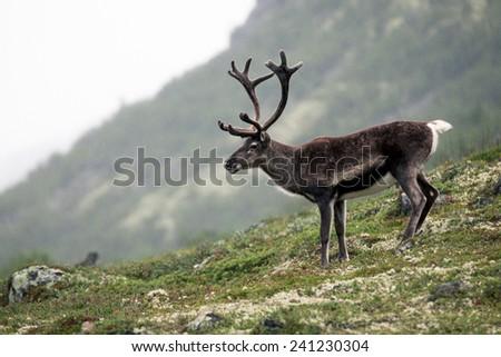 Reindeer in Jotunheimen, Norway - stock photo
