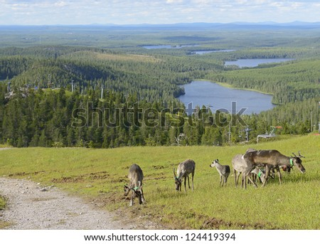 Reindeer in the mountains. Northern Finland - stock photo