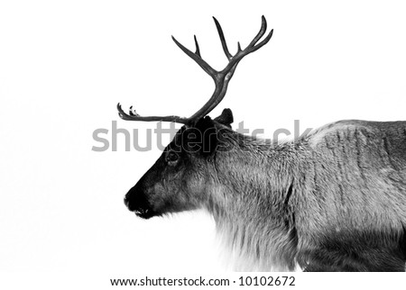 reindeer in the natural environment in Scandinavian lapland - stock photo