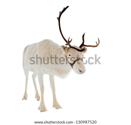 Reindeer looking at camera isolated on white background ready to be put on any Christmas card or design