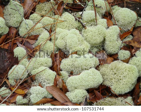 Reindeer moss or lichen covers a damp forest floor in Florida in summer. - stock photo