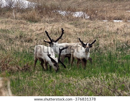 reindeer of Commander Islands