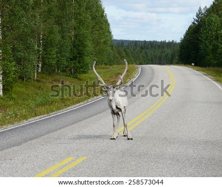 Reindeer on road. Lapland, Northern Finland - stock photo