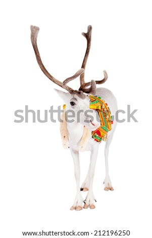 Reindeer or caribou wearing traditional harness - stock photo