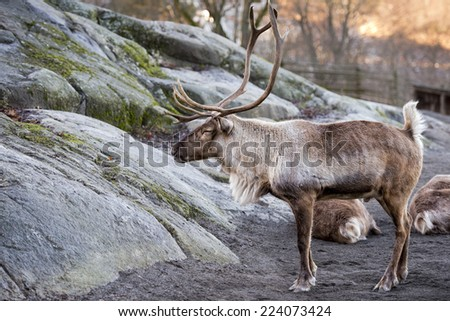 reindeer portrait in winter snow time at sunset