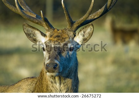 Reindeer (Rangifer tarandus) in Banff National Park Canada