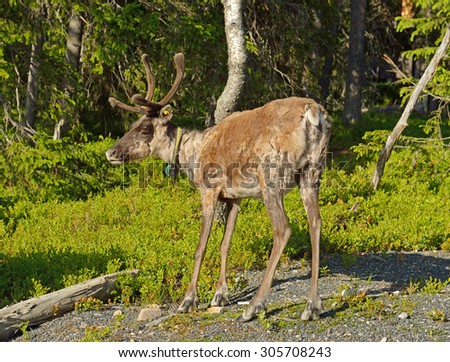 Reindeer (Rangifer tarandus) in forest