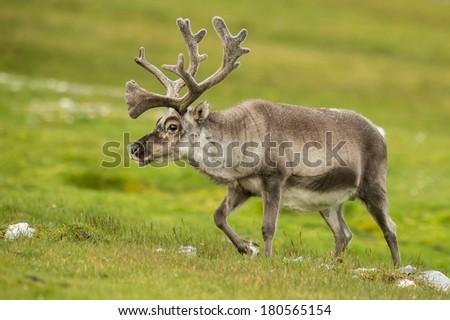 reindeer roaming on svalbard meadow - stock photo