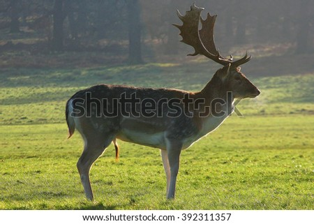 Reindeer with antlers on frosty morning