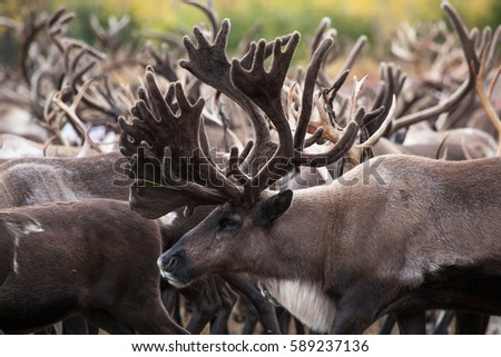 reindeer with big horns in tundra