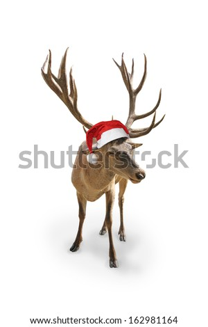 reindeer with santa claus hat, isolated on white background - stock photo