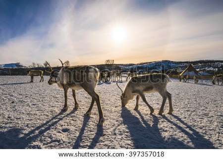 Reindeers and a dramatic sunset as a background, Tromso region,  Norway - stock photo