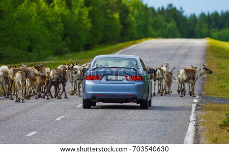 Reindeers herd stopping the car in Lapland, Finland