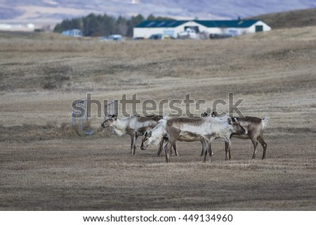 Reindeers in Iceland - stock photo
