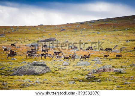 reindeers in Jotunheimen national park, Norway - stock photo