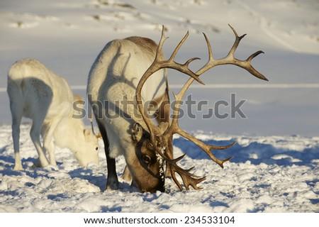 Reindeers in natural environment, Tromso region, Northern Norway. - stock photo