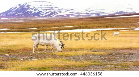 Reindeers in the arctic landscape of Svalbard - stock photo