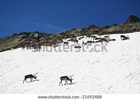 Reindeers in the wild, Jotunheim national park Norway - stock photo