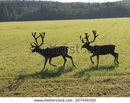 Reindeers on swedish fjeld - stock photo