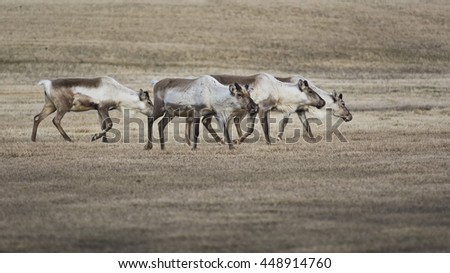 Reindeers on the grass - stock photo