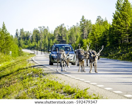 Reindeers on the street, Sweden, Norrland, Lapland