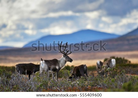 Reindeers on the swedish mountain plateau Flatruet, in the background a blue mountain.