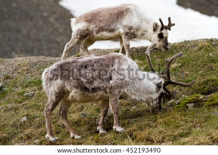 reindeers walking in the svalbard islands - stock photo