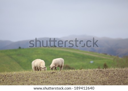 Rekaxing sheep in the farm.