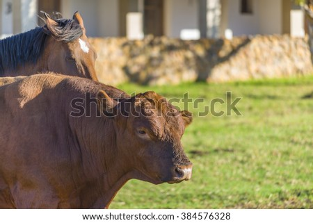 Relashionship between a female horse and male bull cow - stock photo