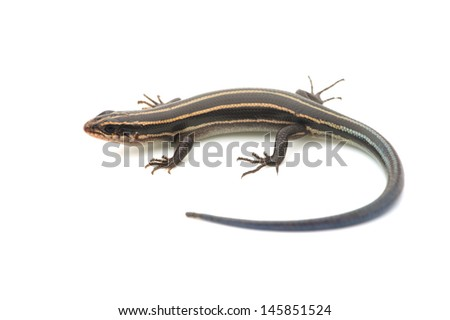 Relative of Japanese Five-lined Skink. available for clipping work.  - stock photo