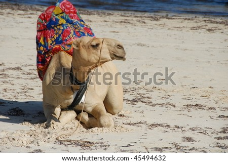 Relaxed Camel at the Beach