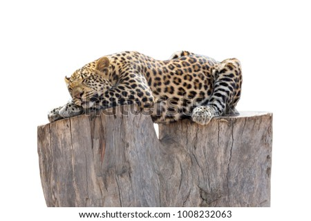 Relaxed Leopard sleeps on tree trunk. Photo isolated on white background