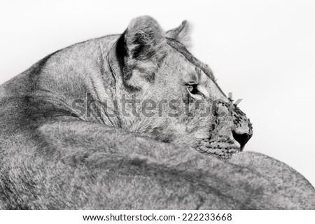 Relaxed Lioness after eating with a few flies on her nose in Masai Mara, Kenya - stock photo