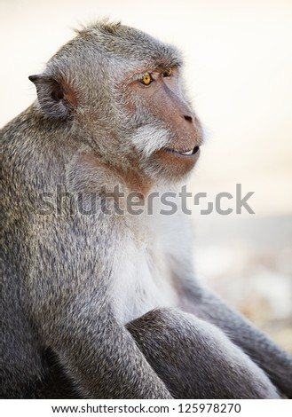 Relaxed male monkey looking aside with clean background. Crab-eating macaque or the long-tailed macaque (Macaca fascicularis), Bali.