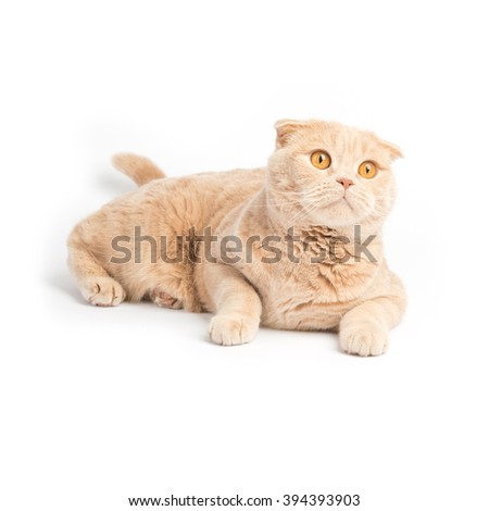 Relaxed scottish fold cat laying on the white background looking up
